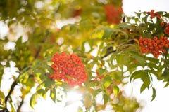 Orange fruits of Nanakamado tree. Nanakamado tree. Autumn season.Taken at street side Matsumoto, Nagano Prefecture, Japan royalty free stock photos