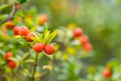 Orange fruits at a shrub Royalty Free Stock Images
