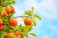 Orange fruits tree against blue sky with green leaves on tree stock images