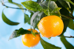 Orange fruits on a tree branch against blue sky royalty free stock images