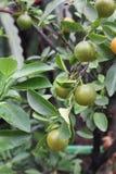 Orange fruits on tree Royalty Free Stock Photography