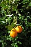 Orange fruits on the tree Royalty Free Stock Image