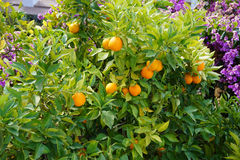 Orange fruits on the tree. With green leave background Stock Images