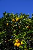 Orange fruits on tree Stock Photography