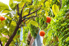 Orange fruits on a tree near the house Stock Photo