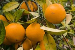 Orange fruits on trees Royalty Free Stock Photography