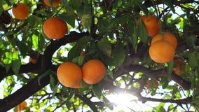 Orange frukt arkivfilmer