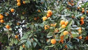 Orange frukt stock video