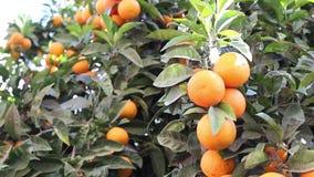 Orange frukt lager videofilmer