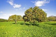 Orange fruktträd med mogna apelsiner Royaltyfri Bild