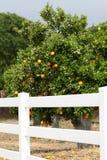 orange fruktträdgård Fotografering för Bildbyråer
