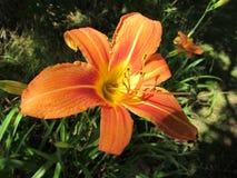 Orange Full-Bloom Tiger Lily Closeup Stock Images