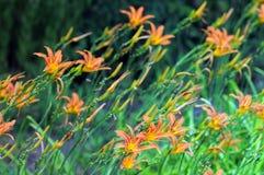 Orange fulva för daglilithHemerocallis arkivfoto