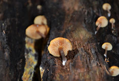 Orange fungi growing on a tree trunk Stock Images