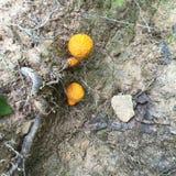 Orange fungi. Mushrooms the mountains stock images