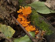 Orange Fungi Stock Photos