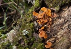 Orange Fungi Stock Photography