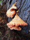 Orange fungi Royalty Free Stock Image