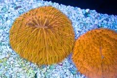 Orange Fungia Coral. Metallic orange Fungia plate corals Royalty Free Stock Photo