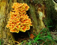 Orange Fungus Royalty Free Stock Photography
