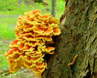 Orange Fungus Stock Photography