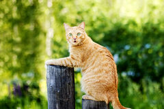 Orange funny Cat on Fence Royalty Free Stock Photos