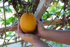 Orange Gac fruit in the farm Stock Photos