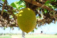 Orange Gac fruit in the farm Royalty Free Stock Photography