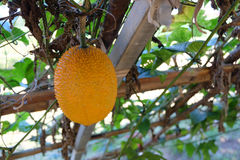 Orange Gac fruit in the farm Royalty Free Stock Images