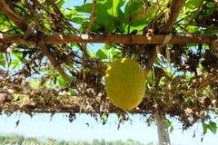 Orange Gac fruit in the farm Royalty Free Stock Photos