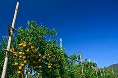 Orange garden Royalty Free Stock Photography