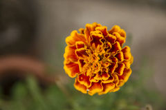 Orange garden flower Royalty Free Stock Photos