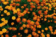 Orange garden flowers. Beautiful garden flowers Stock Photos