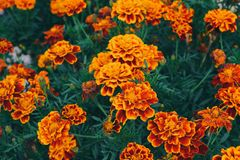 Orange garden flowers. Beautiful orange flowers Royalty Free Stock Image