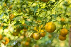 Orange garden,Fresh orange fruit in the orchard over blur orange leaves background. And morning sun light royalty free stock images