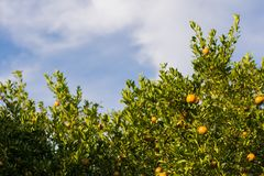 Orange garden,Fresh orange fruit in the orchard over blur orange leaves background. And morning sun light royalty free stock photography