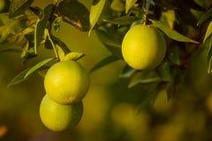Orange garden with fruit Royalty Free Stock Photos