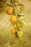 Orange garden with fruit Royalty Free Stock Photography