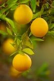 Orange garden with fruit Royalty Free Stock Image