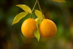 Orange garden with fruit Stock Photos