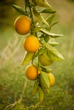 Orange garden with fruit Stock Photo