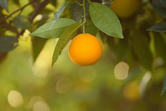Orange garden with fruit Royalty Free Stock Photography