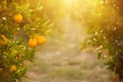 Orange garden with fruit Royalty Free Stock Photo