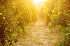 Orange garden with fruit Stock Photography