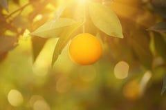 Orange garden with fruit Royalty Free Stock Images