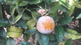 Orange moulded in an orchard of citrus fruits. An orange in a garden has started to be mouldy n stock photos