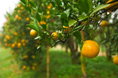 Orange garden in the morning, north of Thailand Stock Images