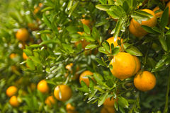 Orange garden in the morning, north of Thailand Royalty Free Stock Photography