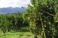 Orange Garden Royalty Free Stock Images
