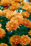 Orange Garden Mums Royalty Free Stock Photos